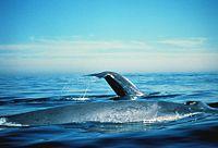pénisz kék bálna)