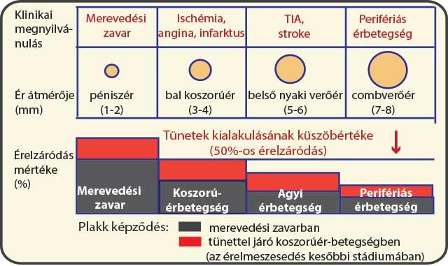 melyik agyrész felelős a merevedésért)