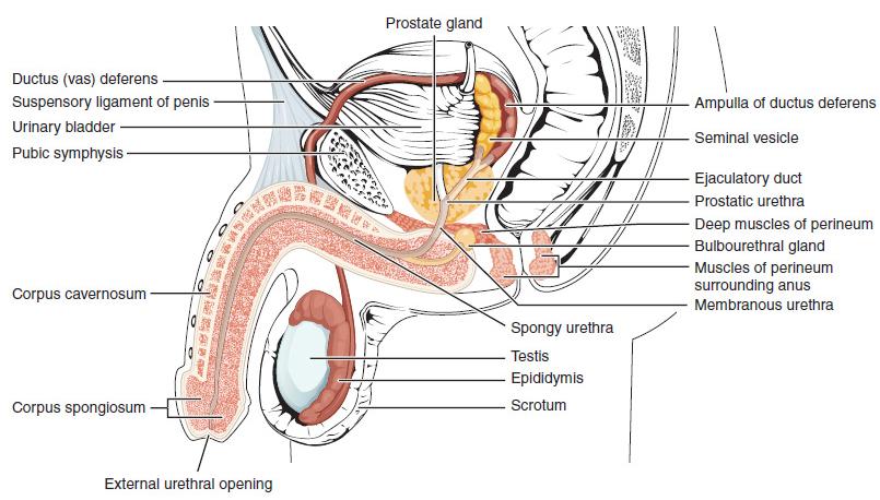 gyűrű a pénisz körül