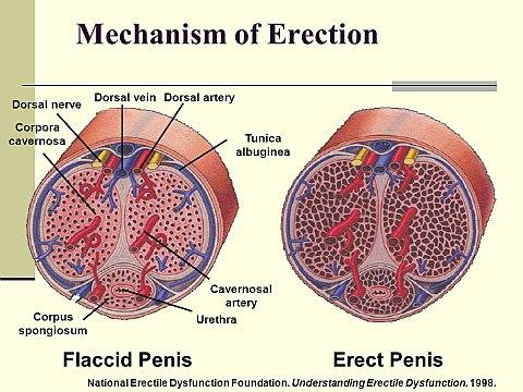 amikor az erekció meghúzza a herét