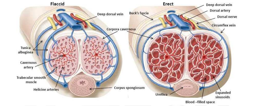 az erekció hormonális mechanizmusa)