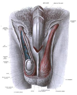 pénisz áll, és nem szükség esetén akinek az emberben van a leghosszabb pénisz