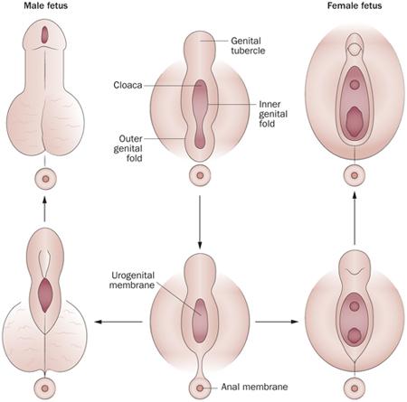 a pénisz fejlődése