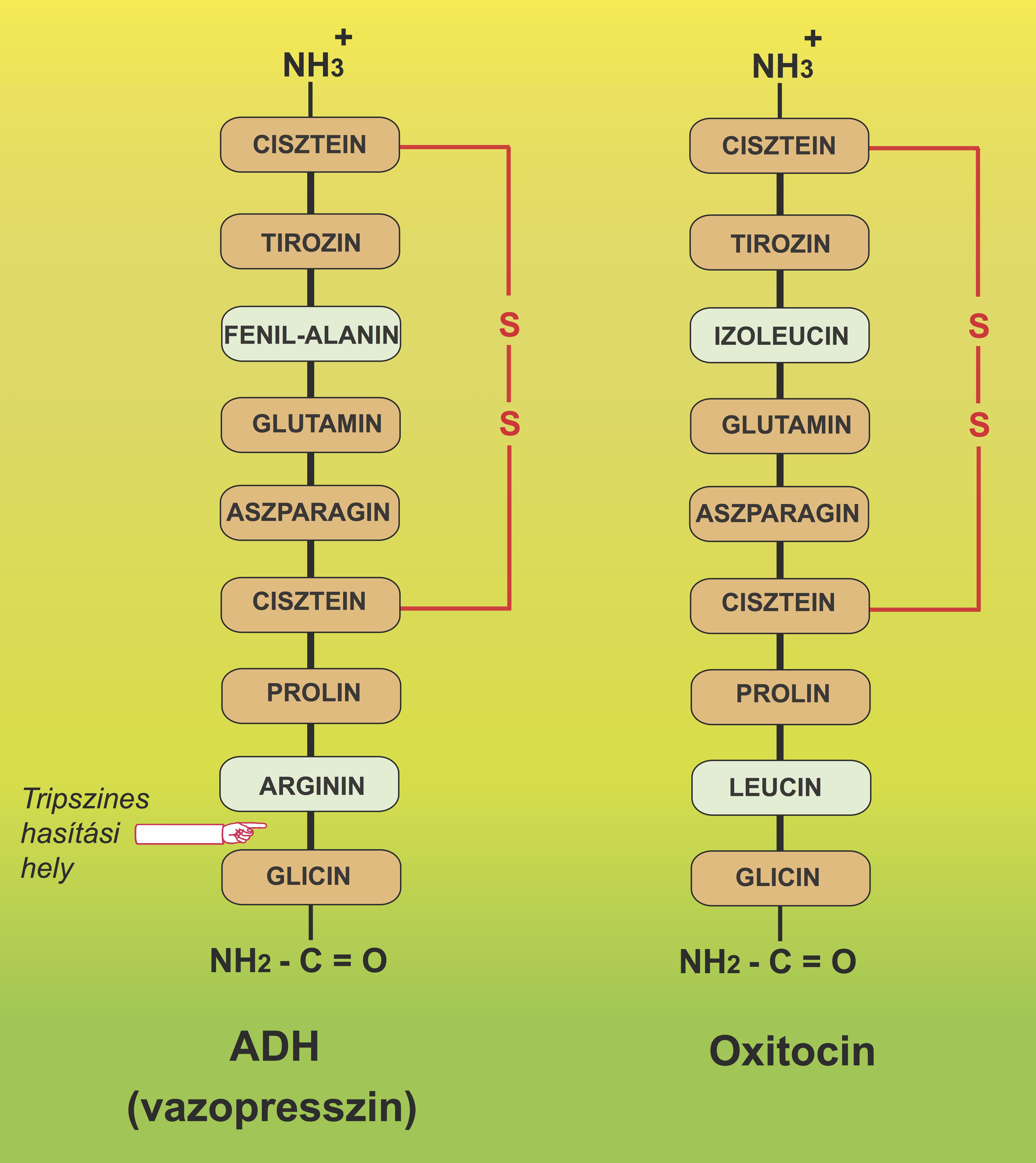 glicin és erekció)