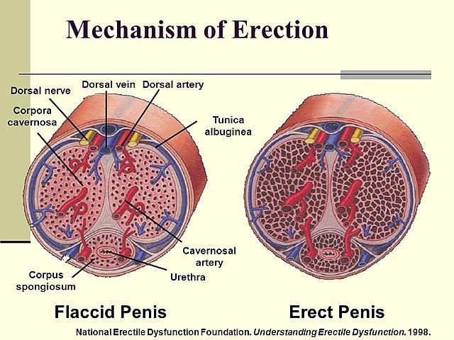 az erekció lelassulása)