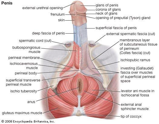hogyan tekerje be a péniszét