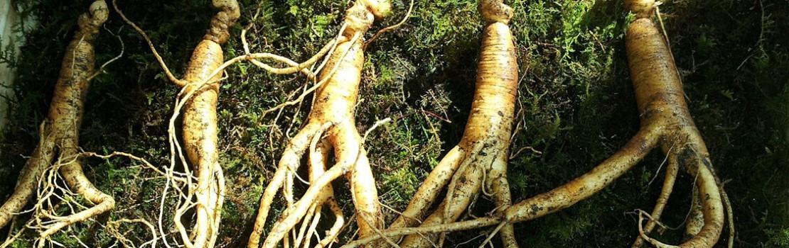 gyógynövény az erekció javítására