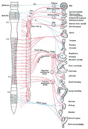 paraszimpatikus idegrendszeri erekció