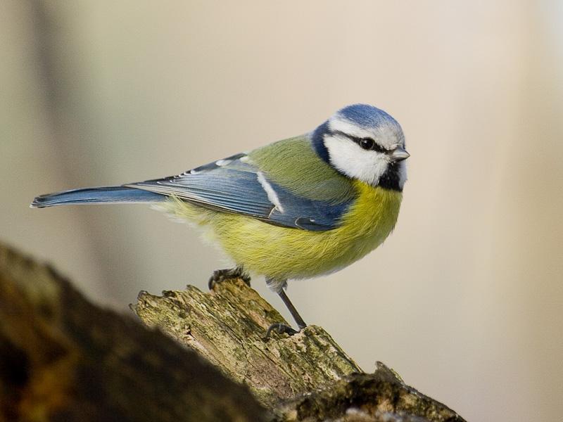 madár, amelynek hattyúja van)