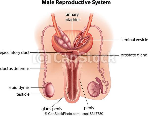 hím pénisz sejtek