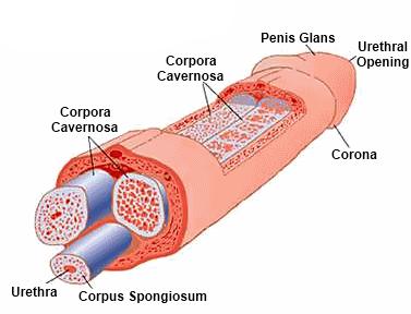 nincs spermium merevedéssel)