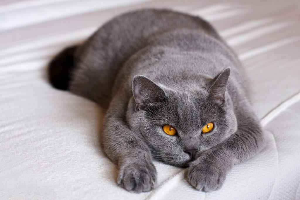 merevedés macskában kasztrálás után