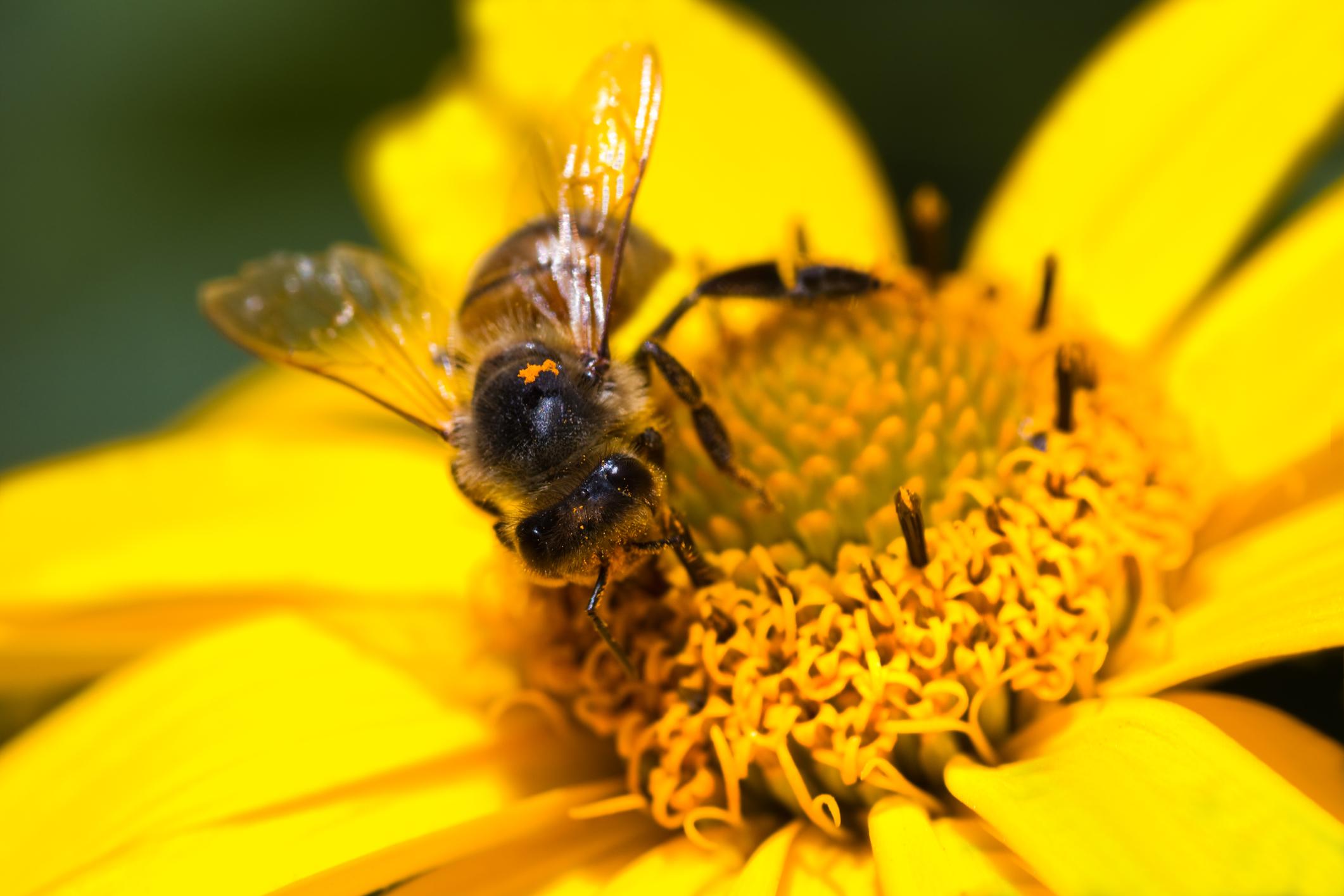 méh a péniszen