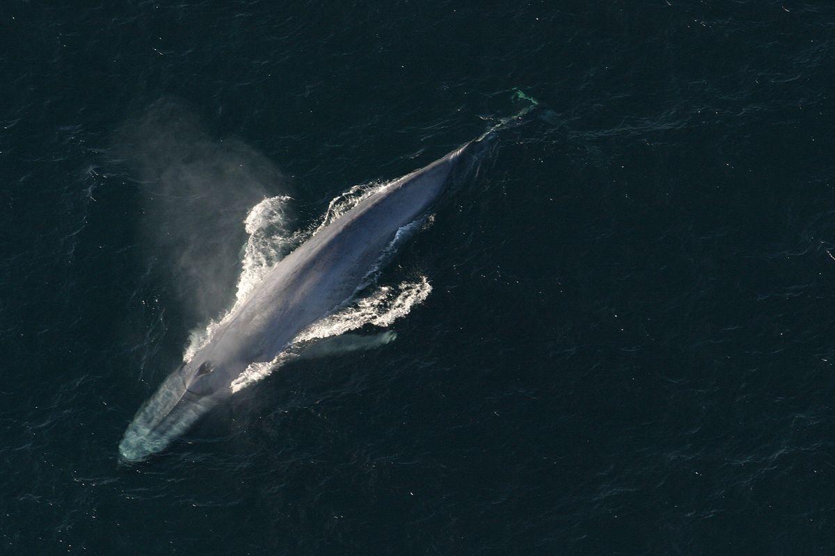 pénisz kék bálna mekkora a pénisz normál szélessége
