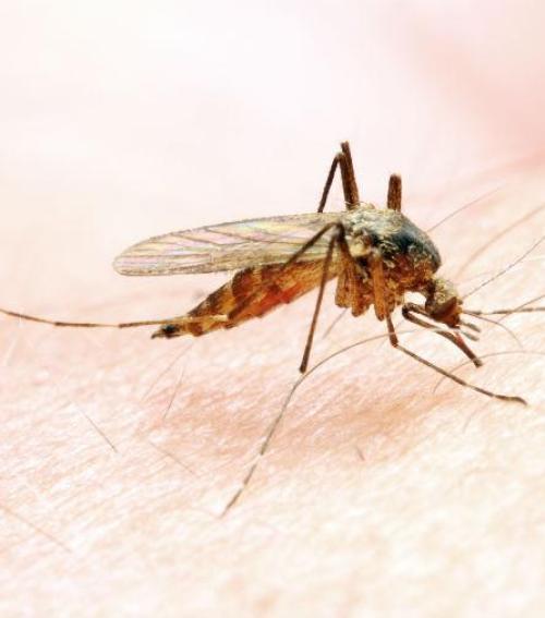 szúnyog a péniszen
