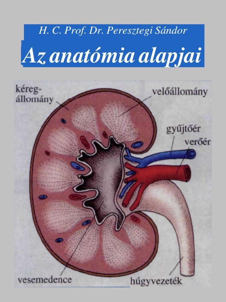 az erekció anatómiája)