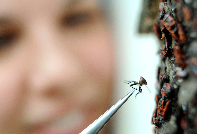 Pénisszel rendelkezik és 70 órán át párosodik egy nőstény rovar