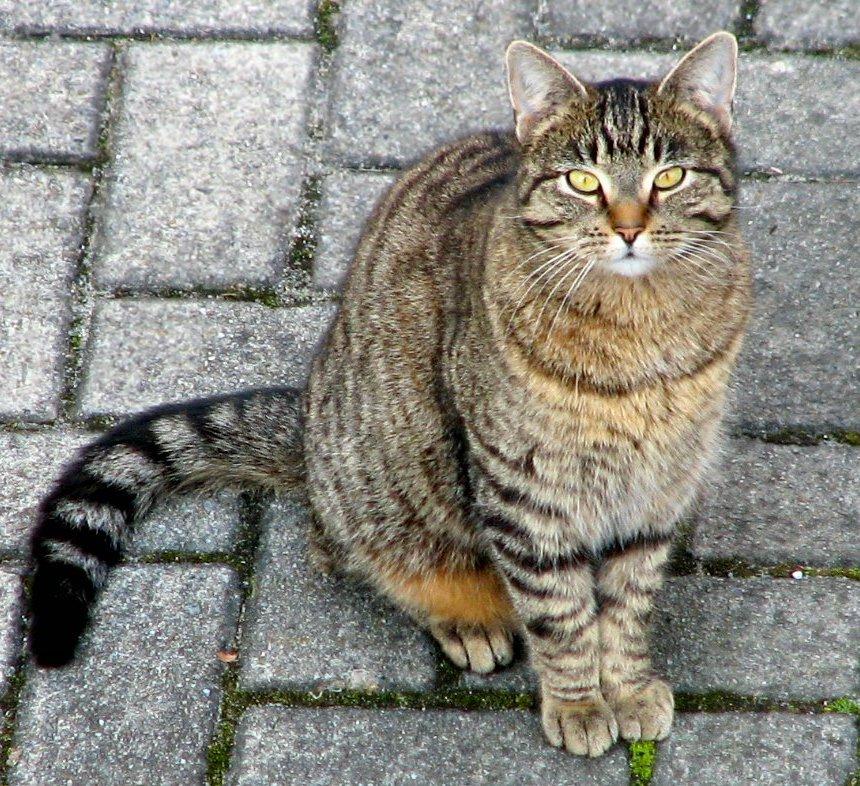 merevedés macskáknál)