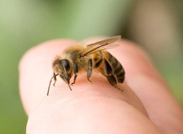 méhcsípő pénisz