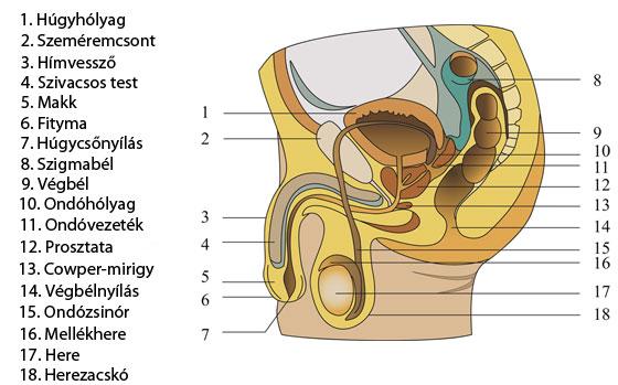 sperma nem szabadul fel erekció során